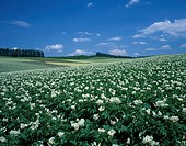 Potato Flower Hill Biei Hokkaido Japan Blue sky Clouds Flower garden Tree Woods Prairie