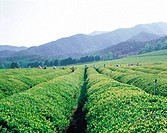 Green Tea Plantation,Jeonnam,Korea