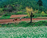 Plowing,Farm Village In Spring,Korea