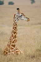 Massai-Giraffe (Giraffa camelopardalis tippelskirchi). Massai Mara, Kenya