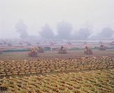 Rice Field In Autumn,Gangwon,Korea