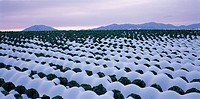 Cabbage Field in Winter,Jeonbuk,Korea