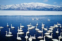 Swans in Lake Kussharo and mountains covered with snow, high angle view, Hokkaido, Japan
