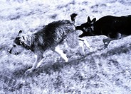 Shepherd dog biting another dog´s tail in field