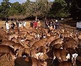 Tobuhino, Deer, Nara park, Nara, Japan
