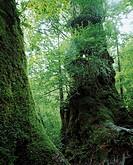 Okina cedar, Yaku Islands, Yakushima, Kagoshima, Japan