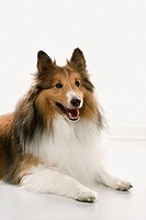 Collie dog.
