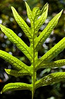 Close_up of Liriope Fern leaf in Maui, Hawaii, USA