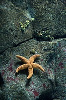 Starfish on rock surface in aquarium in Lisbon, Spain