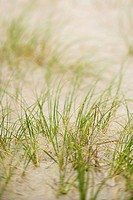 Beach grass in sand