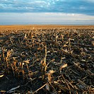 Dead cornfield in rural South Dakota