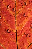 Close_up of Sugar Maple leaf in Fall color sprinkled with water droplets.
