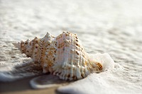 Conch shell with waves engulfing it