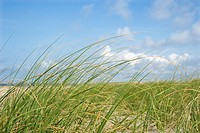 Beach grass swaying with the wind