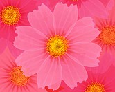 Closed Up Image of Several Pink_colored Cosmos, Illustration, Illustrative Technique
