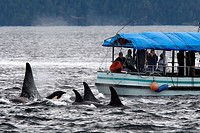 Orca. Killer whale (Orcinus orca) Family: Delphinidae. Order: Cetacea. Johnstone strait. British Columbia. Canada