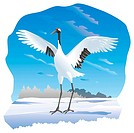 Red crested white crane spreading its wings out in snow scene, front view