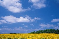 a Huge Sunflower Field Under a Blue Sky, Hokkaido Prefecture, Japan