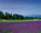 a Huge Lavender Field, Next to a White Fence, Hokkaido Prefecture, Japan