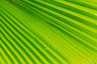 a Hemp Palm Leaf, Light Green Stripes Visual, High Angle View, Hawaii, USA