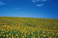 a Huge Field of Sunflowers Spreading Across the Surface Under a Blue Sky, Hokkaido Prefecture, Japan
