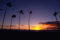 Several Palm Trees Near the Ocean By Sunset, Low Angle View, Hawaii, USA