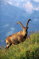 Alpine Ibex (Capra ibex). Jungfrau area, Switzerland