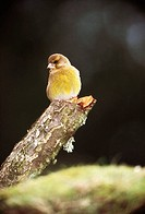 Greenfinch (Carduelis chloris), female