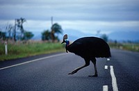 An endangered Cassowary straying dangerously onto a road.