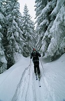A cross_country skier treks through towering trees.