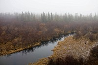 The boreal forest on a foggy day.