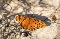 A gulf fritillary butterfly at the Fort Morgan State Historical Site.