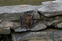 Small brown bat clings to a rock wall.
