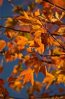 A maple tree Acer saccharum in its autumn color.