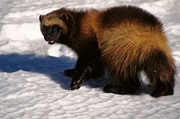 Wolverine (Gulo gulo) in snow