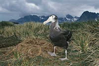 Wandering Albatross (Diomedea exulans), young. South Georgia Islands, Antarctica