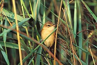 Great Reed Warbler (Acrocephalus arundinaceus)