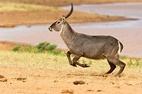 Waterbuck (Kobus ellipsiprymnus) in flight. Tsavo-East National Park, Kenya