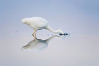 Great White Egret fishing at S'Albufera Nature Reserve. Majorca, Balearic Islands, Spain