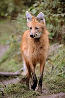 Maned wolf (Chrysocyon brachyurus) captive, red list of endangered species