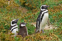 Magellanic Penguins with fledling, pinguin reserve Seno Otway, Chile, Spheniscus magellanicus