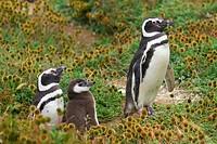 Magellanic Penguins with fledling, pinguin reserve Seno Otway, Chile, Spheniscus magellanicus