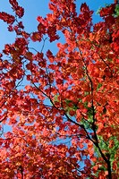 Red leaved branch of maple tree