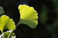 Ginkgo leaf with dew drops, close-up