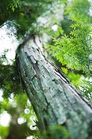 Tree and foliage, low angle view, close-up (thumbnail)