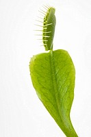 Venus flytrap, close-up
