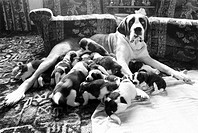 St Bernard dog with puppies, November 1981.Heidi with 15 puppies at the home of her owners Eric and Ellen Roberts of Illingworth, Halifax.