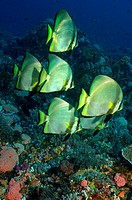 A small school of bat fish (Platax orbicularis). Komodo National Park