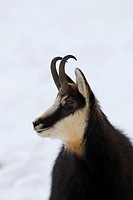 Chamois, Rupicapra rupicapra, Nationalpark Gran Paradiso, Italy, November