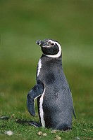 Magellanic Penguin (Spheniscus magellanicus). Carcass Island, Falkland Islands, UK